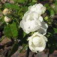 Longlasting_rose_001